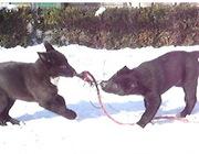 Продам щенков восточно-сибирской лайки