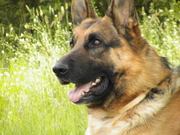 щенок немецкой овчарки продается