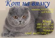 Вязка  шотландский вислоухий кот (скоттиш-фолд)