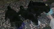 Милые щенки-метисы, не дорого!!!