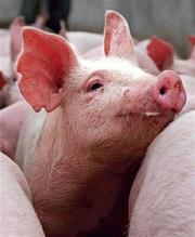 вітамінно мінеральні добавки Бвмд для свиней