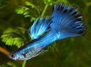 Гуппи Московская синяя,  аквариумные рыбки,  чистая линия