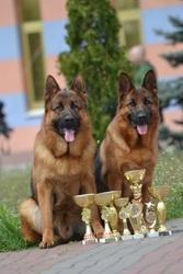 Клубные щенки немецкой овчарки от Чемпиона Украины