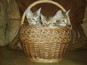 Бенгальские котята,  4 мес (племенная родословная по желанию)