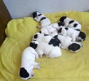 Продаются чистокровные щенки русского спаниеля