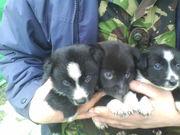 Продам щенков русско-европейской лайки