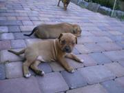 Стаффорширдский терьер  щенки