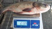 Речную живую рыбу оптом,  крупным оптом и на экспорт