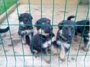 Немецкая овчарка чистокровный щенок (короткошерстный)