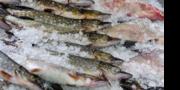 Продаж риби оптом і в роздріб