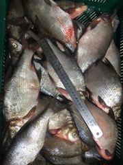 Рыба в ассортименте,  опт,   розница,  доставка,  экспорт,  импорт.